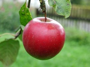 big-red-apple